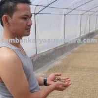 Best arabica lintong green beans Grade1 origin from north sumatera, Indonesia.