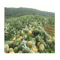 fresh pineapple / canned pineapple in syrup - Wholesale for pineapple canned / dried pineapple