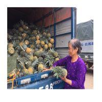 Fresh Sweet Pineapple for EU USA UAE Japan Singapore Free tax
