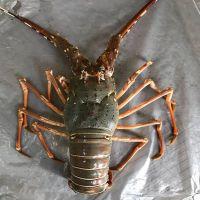 Frozen Lobster / Live lobster