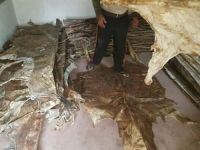 Dry Salted Cow Skin