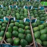 African Fresh Green Avocado