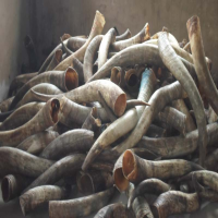 Raw White Cow Horn