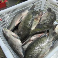 Fish Frozen fresh red seabream fish 300-500g for seafood importers