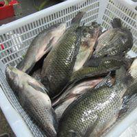 Fish Frozen fresh red