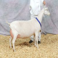 Saanen alive / live Goat Ready For Sale