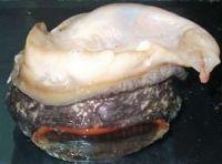 Locos - Abalone