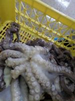 Southern Octopus