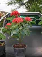 Ixora nursery plant