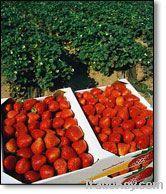 fresh strawberry from egypt