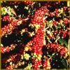 Export Arabica Coffee Beans | Arabica Coffee Bean Importer | Arabica Coffee Beans Buyer | Buy Arabica Coffee Beans | Arabica Coffee Bean Wholesaler | Arabica Coffee Bean Manufacturer | Best Arabica Coffee Bean Exporter | Low Price Arabica Coffee Beans | B