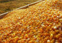 Brazilian Yellow Corn