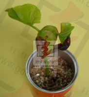 magic bean(seeding canister, paper canister, holiday gift)