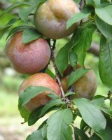 provide plums of fine quality