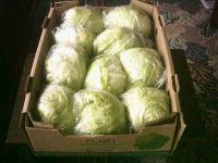 Salsabeel Lettuce ( Ice Berg )