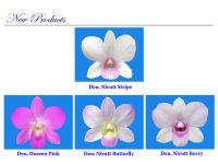 New N&K Dendrobium