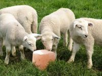 Himalayan Animals Lick Salt | Horse Licking Salt | Natural Salt Licks For animals | Animal Licking Salt Blocks