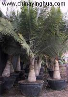Sell Ravenea rivularis(Palm tree-Landscaping plants)