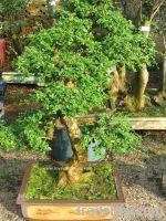 Sell Carmona bonsai
