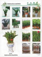zamiioculcas zamiifolia 2
