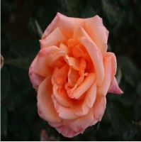 Wholesale Hybrid Tea Rose Online