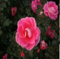 Chinese Hybrid Tea Rose