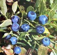 Bilberry Extract / Cranberry Extract
