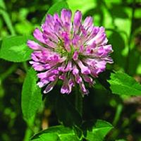 Red Clover Extract / Black Cohosh Extract