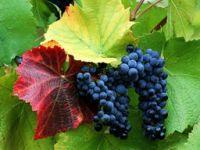 Grape Seed Extract / Pine Bark Extract