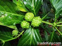 Morinda Citrifolia Extract / Dong Quai Extract