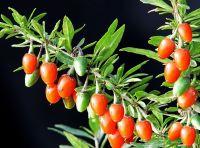 Goji berries extract