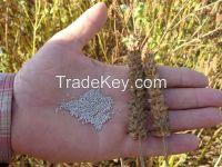 Organic white chia seeds