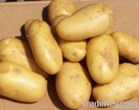 Holland potato on sale