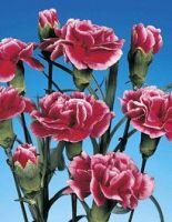 Fresh cut spray carnations