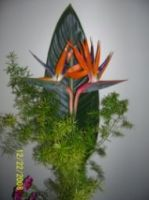 Strelitzia Reginae-Bird of Paradise