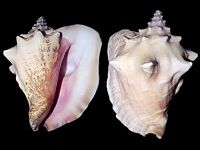 Conch meat offer