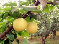 crown  pear