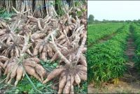 Tapioca Cassava