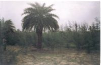Phoenix Sylvestris, Other Palm,Fruit and Herble Plants