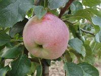 Florina apple