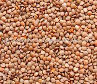 Red Lentils whole, Lentille, Lense, Lenteige, Adas, Masoor, Mercimek, Saabat Masoor, Desi Masoor, Masoor Matki, or Crimson.