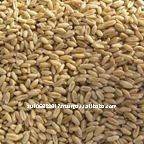 Australian organic wheat grain
