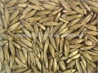Bamboo Seed Suppliers Bamboo Seed Exporters Bamboo Seed Bulk Bamboo Seed Traders Buy Bamboo Seed