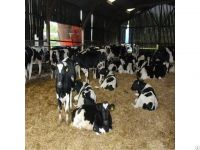 Alive Fattening Beef Bulls for sale/ Helathy Pregnant Holstein Heifers Cattle