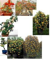 alive bonsai, alive bonsai with fresh fruits, potted trees with fruit
