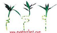 Lucky bamboo ,Dracaena Sanderiana