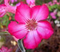 Adenium seed, Thai Adenium seeding