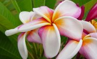 Plumeria Mixed Varieties and Colors