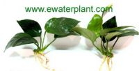 Aquarium plant and Pond plant