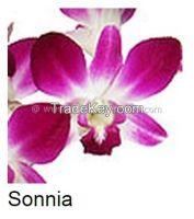 fresh cut dendrobium orchid sonnia sonia